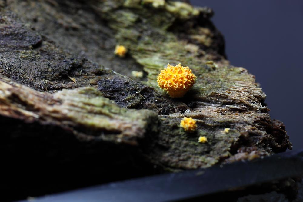 ダイダイガサの幼菌
