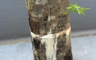 植菌した原木から…